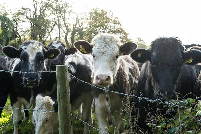 Isle of Wight cows