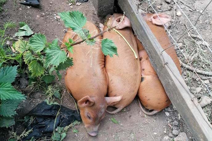 The piglets at Quarr Abbey
